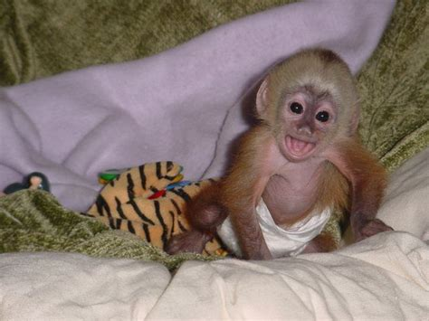 capuchin monkey pet cute baby capuchin monkeys for free adoption parkersburg wv asnclassifieds cute