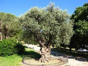 Planter Un Olivier En Pleine Terre : planter un olivier ~ Farleysfitness.com Idées de Décoration