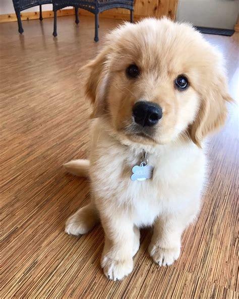 Rollo The Golden Retriever Puppy Retriever Puppy Cute