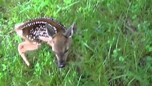 Baby White Tail Deer, Fawn Born - YouTube