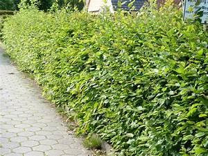 Immergrüne Hecke Schnellwachsend : heckenpflanzen kaufen carpinus betulus hainbuchen ~ Lizthompson.info Haus und Dekorationen