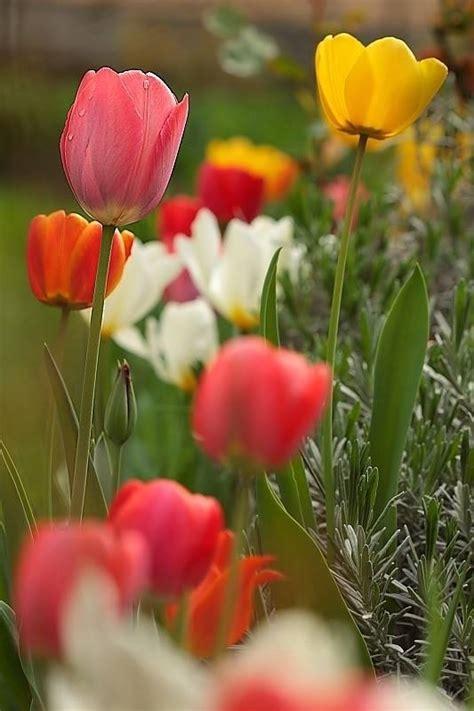 bulbi di tulipano in vaso tulipano tulipa bulbi tulipano tulipa bulbi