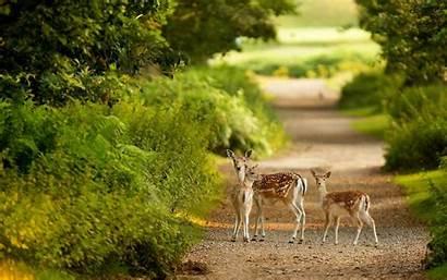 Wildlife Desktop Wallpapers Deer