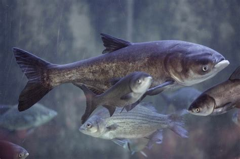 asian fish action is needed to block asian carp from great lakes editorial toronto star