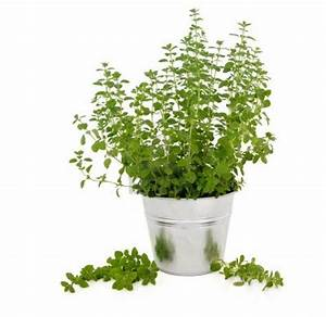 An Herb For Thought: Marjoram | The Sleuth Journal
