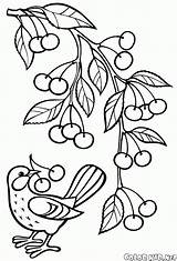 Coloring Branch Cherry Pear Cherries Pages sketch template