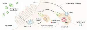 Peripheral Lymphoid Volume And Gut Microbiota  Dendritic