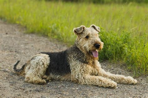 do airedale puppies shed most popular hypoallergenic non shedding breeds