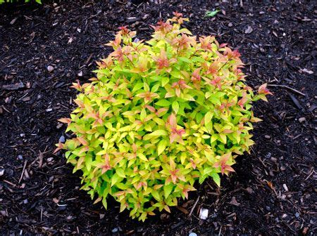 low growing plants goldflame spirea zone 3 h 24 36 quot w 24 36 quot full sun low compact growing shrub with colourful