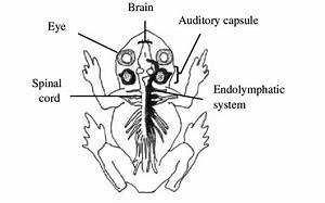 Dorsal View Of A Frog Depicting The Location Of The