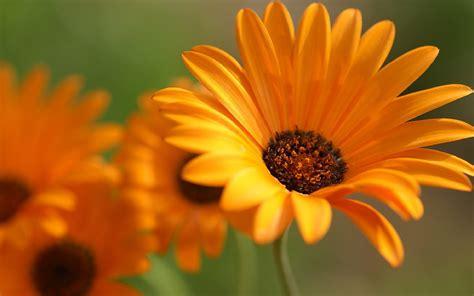 Orange Wallpaper Flower by Flower Orange Petals Macro Hd Desktop Wallpapers 4k Hd