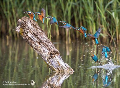 eisvogel beim fischfang forum fuer naturfotografen