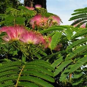 Arbre à Croissance Rapide Pour Ombre : arbre soie julibrissin albizia ~ Premium-room.com Idées de Décoration