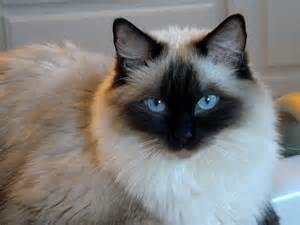 cat ragdoll ragdoll cat pictures and images