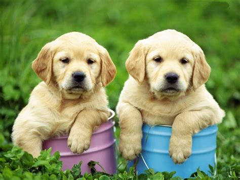 Two Cute Golden Retriever Puppies Photo And Wallpaper