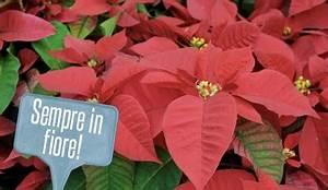 Come Mantenere Le Stelle Di Natale Stella Di Natale Come Curarla Anche Dopo Le Feste Blog De Il