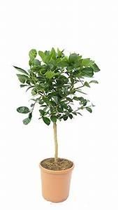 Dünger Für Zitronenbaum : zitronenbaum zitrone citrus limon 70 100 cm zitruspflanze ~ Watch28wear.com Haus und Dekorationen