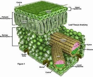 Plant Stem Structure Model