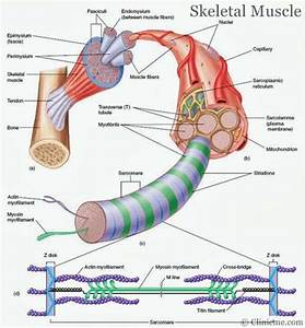 Skeletal Muscle Diagram
