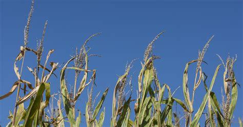 harvest moon  full corn moon  september