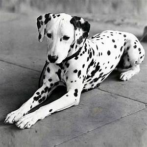 Dalmatian Dog Breed Information