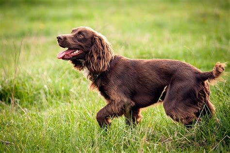 Do Boykin Spaniel Dogs Shed by The Best Types Of Breeds Brave Hunters