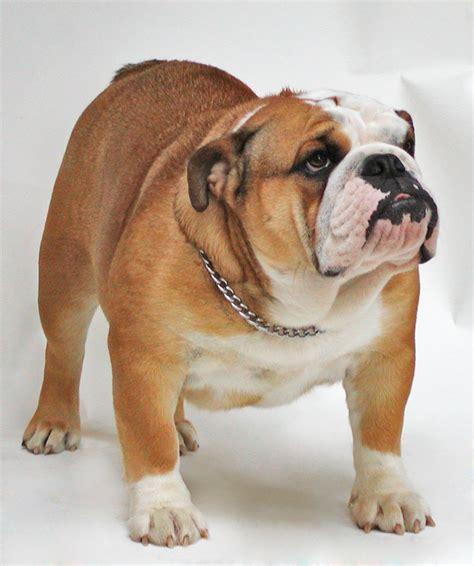 Ee  Bulldog Ee