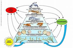 Diagram  Ocean Ecosystem Food Chain Diagram
