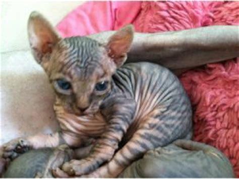 Munchkin Sphynx Cat  Breed Sphynx Age 2 Years Price 750
