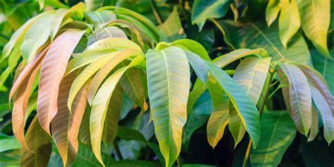 jangan buang daun mangga ini 10 manfaat sehatnya part 1