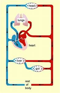 Circulatory System Simple Diagram - ClipArt Best