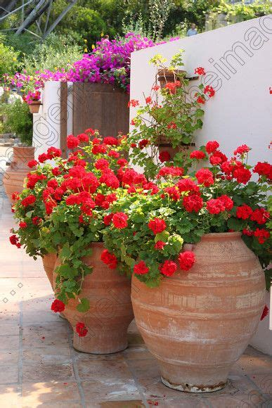 planting geraniums in pots 25 best ideas about geraniums on geranium plant geranium flower and fall potted plants