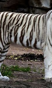 White Bengal Tiger Roaring at Busch Gardens in Tampa ...