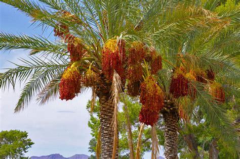 Palm, Date Palm Tree, Phoenix Dactylifera, Edible Fruit