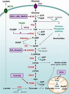 Glucose Metabolism In Cancer Cells  Glycolysis Is A Series Of Metabolic