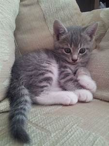 Grey and White Kitten for Sale | Derby, Derbyshire ...