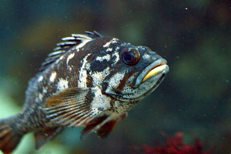 rockfish gopher sebastes wikipedia pacific species fishes coast most