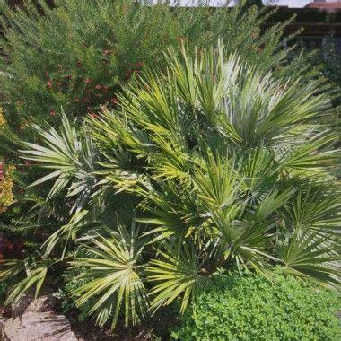 type de palmier exterieur les 25 meilleures id 233 es de la cat 233 gorie palmier chamaerops sur piscine country