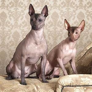 Small Sized Dog Breeds That Don T Shed - Breed Dogs ...