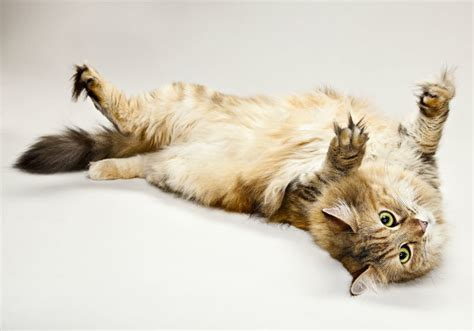 Do Maine Coons Shed Their Mane by Maine Coon Cats Kitten Facts Information