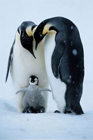 iphonezone  awesome penguin iphone wallpapers