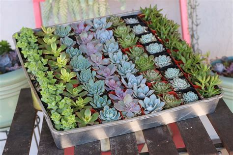 2 Wedding Succulents Succulents For Sale Bulk Succulent