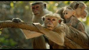 Disneynature U2019s Monkey Kingdom