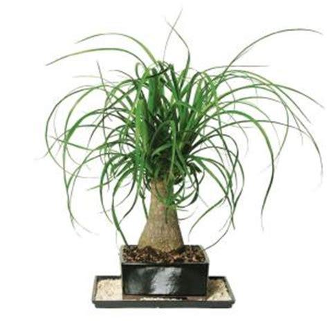 brussel s bonsai ponytail palm indoor dt 7001ptp the