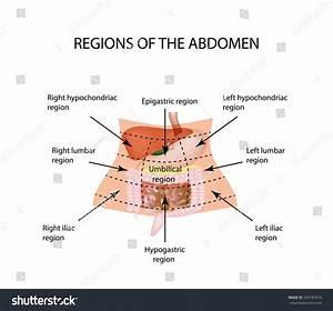 Abdominal Region Liver Gallbladder Pancreas Stomach Stock Illustration 393187819