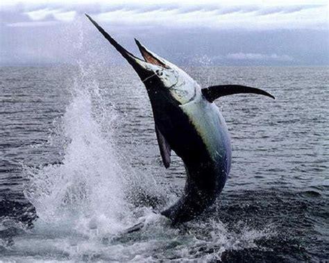 pesci cucina specie ittiche in cucina pesce spada xiphias gladius