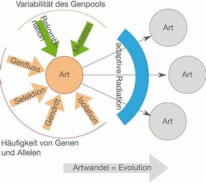 Evolution Funktionsweise Evolutionstheorie Artbildung Zusammenwirken Schullv Abb