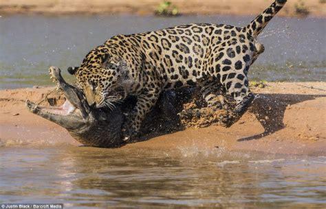 Jaguar Vs Caiman by Jaguar Hunts Caiman 10 Pics Amazing Creatures