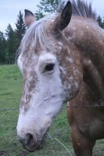 Badger Face Horse Marking
