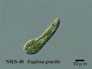 Euglena Gracilis 48